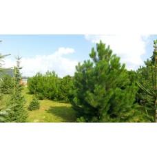 сосна черная Pinus nigra